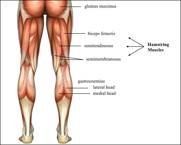 Anatomy of The Hamstring