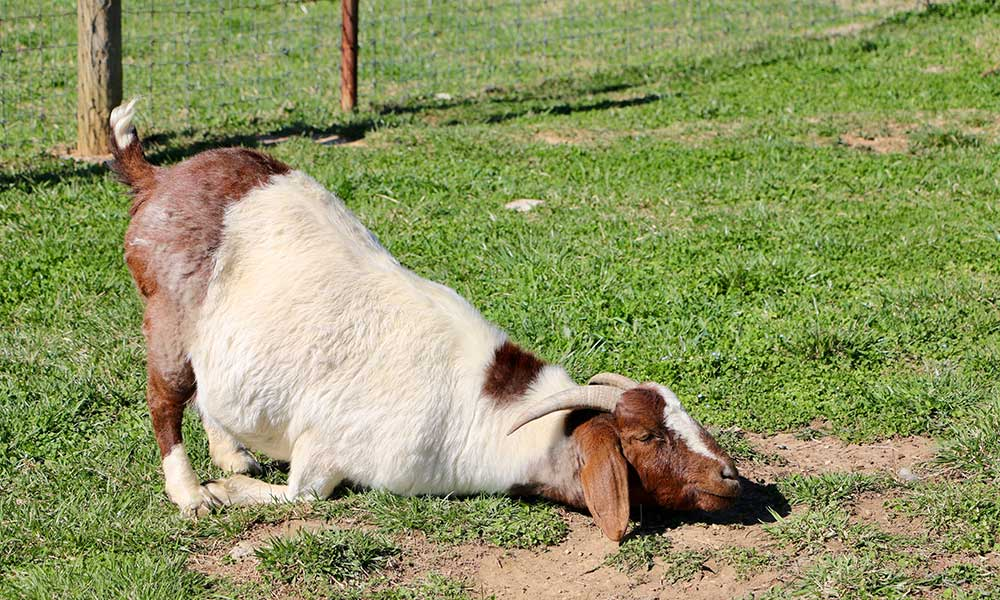 How Did Goat Yoga Get Started