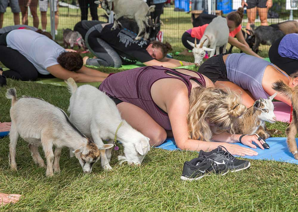 Is Goat Yoga Right for You
