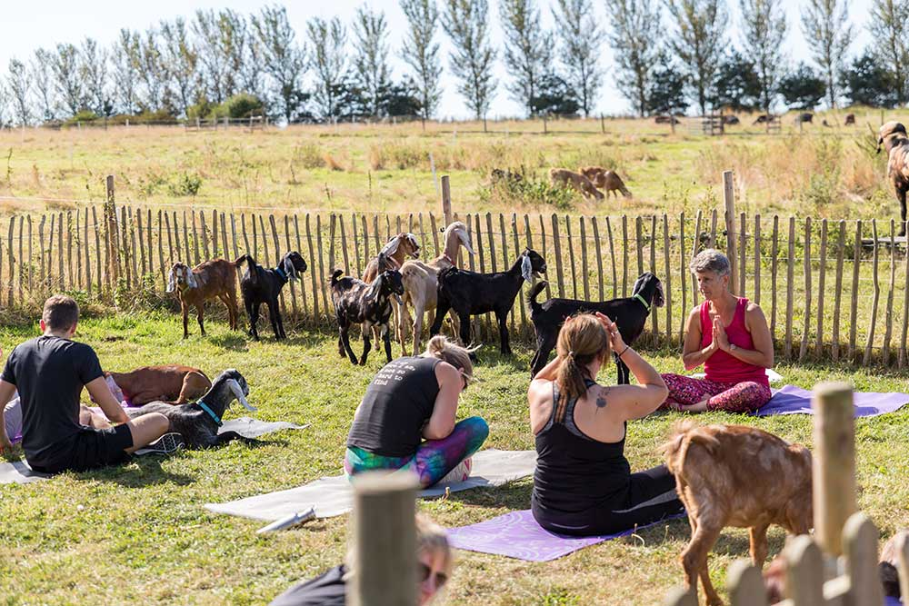 Where Can I Practice Goat Yoga
